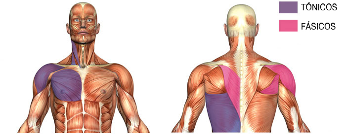 Tonic and Phasic Muscles in your neck and back.